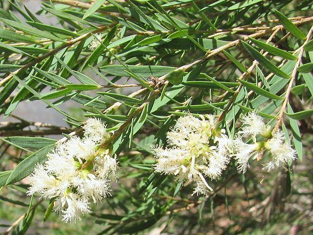 australische Teebaumöl Pflanze